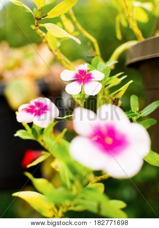 white flowers with pink center in green background