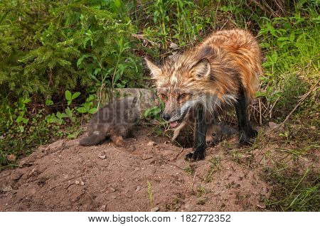 Red Fox (Vulpes vulpes) Vixen With Kits at Densite - captive animal