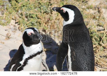 Two african penguins is taking sunbath. Boulders Beach in Cape Town, South Africa.