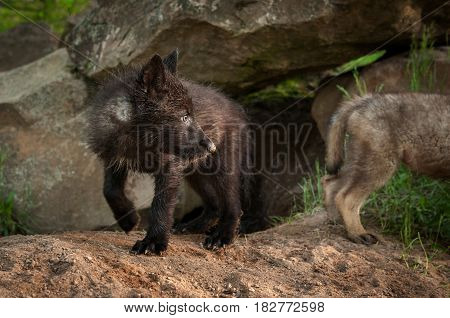 Black Phase Grey Wolf (Canis lupus) Pup Looks Right - captive animals