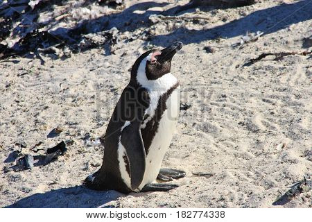 African penguin is taking sunbath. Side view. Boulders Beach in Cape Town, South Africa.