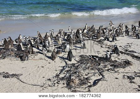 Gathering of African penguins at Boulders Beach in Cape Town, South Africa