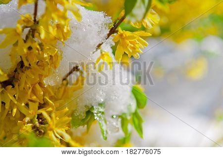 Blooming Border Forsythia after snowfall landscape shrub