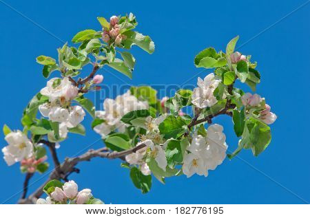 Apple Blossom, Blooming On Apple Tree After Spring Snowfall