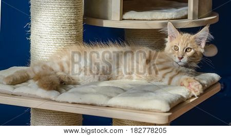 Kitten of Maine coon lying on his bed.