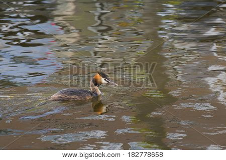 Great Crested Grebe (Podiceps cristatus) adult swimming in water with reflections in a Town Canal