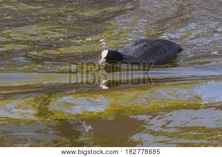 Eurasian Coot (Fulica atra) adult swimming in water of a Town Canal with reflections in threatening pose