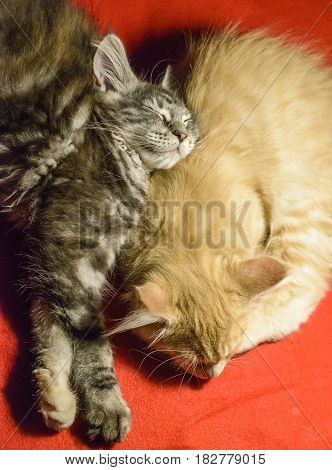 Two maine coon kitten sleeping together on a red blanket.