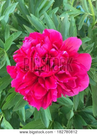 Beautiful flowers grow in the garden is romantic and tender pion