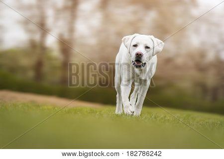happy labrador retriever dog puppy running on a sunny meadow field