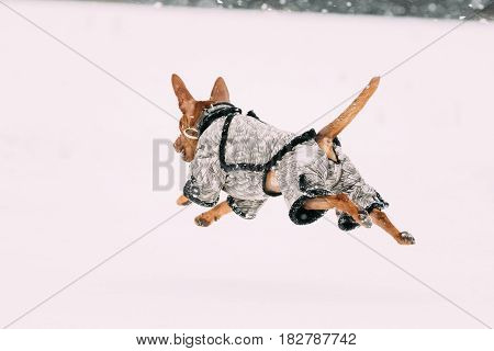 Funny Dog Red Brown Miniature Pinscher Pincher Min Pin Playing And Running Outdoor In Snow, Winter Season. Playful Pets Outdoors.