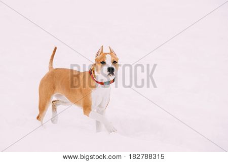 Beautiful Dog American Staffordshire Terrier Standing In Snow At Winter Day