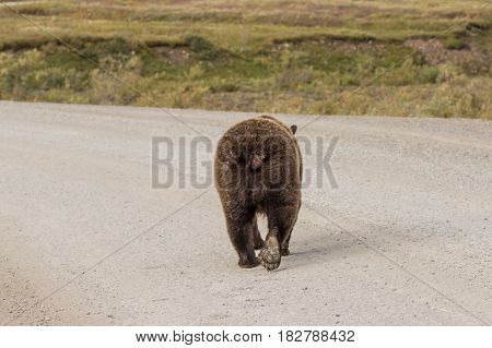 a grizzly bear walking away down a road in Alaska