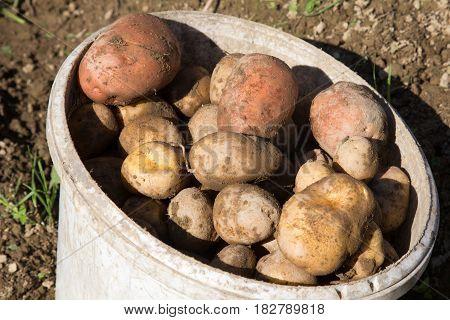 Harvesting potatoes - Organic potatoes in bucket