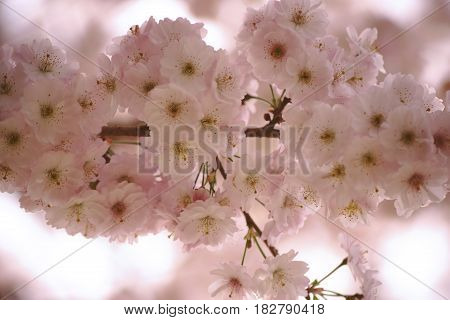 The soft pink flowers of Higan-cherry Prunus subhirtella in spring.
