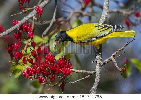Black-headed oriole in Kruger national park, South Africa ; Specie Oriolus larvatus family of Oriolidae