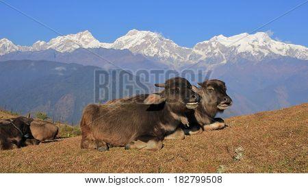 Lying water buffalo babies in Ghale Gaun. Snow capped Manaslu range Nepal.