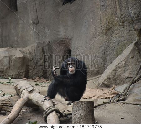 Chimpanzee Sitting in the Sun at the Zoo Leipzig