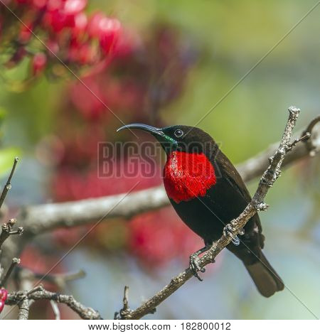 Scarlet-chested sunbird in Kruger national park, South Africa ; Specie Chalcomitra senegalensis family of Nectariniidae