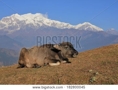 Resting water buffalo baby and snow capped mountain of the Manaslu range Nepal.