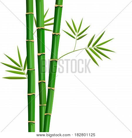 Fresh bamboo tree and leaves isolated on white background. leaf isolated. Botanical. Herbal medicine plant for skin and hair care, cosmetics, ointments, perfumery, label, decoration, cooking, culinary