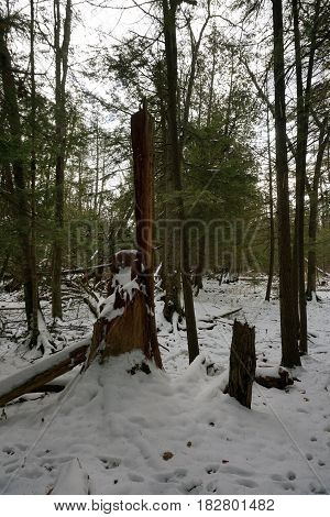 Fresh snow and stumps of trees in the Richard H. and Lydia Naas Raunecker Preserve in Harbor Springs, Michigan during November.