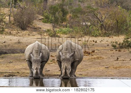 Southern white rhinoceros in Kruger national park, South Africa ; Specie Ceratotherium simum simum family of Rhinocerotidae