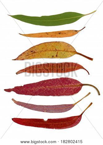 Still life arrangement of a series of Australian native Eucalypt tree leaves in various colours