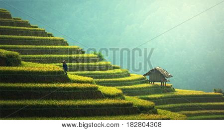 Rice fields on terraced of Mu Cang Chai YenBai Vietnam. Rice fields prepare the harvest at Northwest Vietnam.Vietnam landscapes