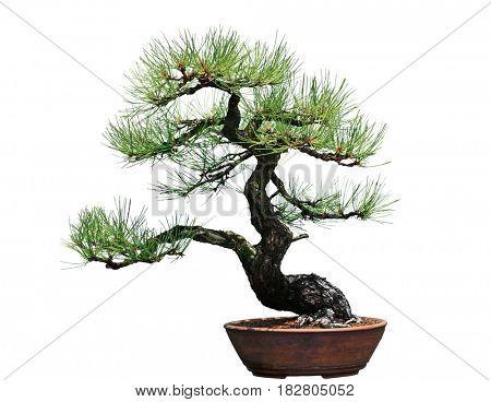 Ponderosa Pine Bonsai Tree isolated on white background