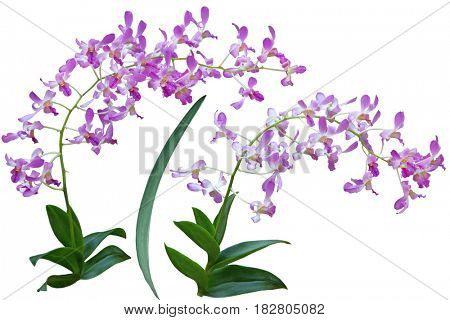 Two branch of pink purple orchid flowers isolated on white background