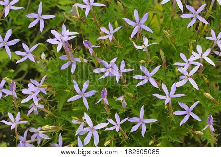 Five petals purple flower jasmin shaped and runcinate leaves  in the garden