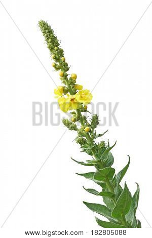 Verbascum Thapsus  Mullein wild Flower isolated on white background