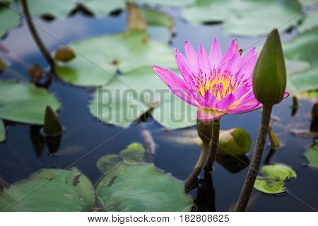 Hilighted pink lotus and bee with darker background
