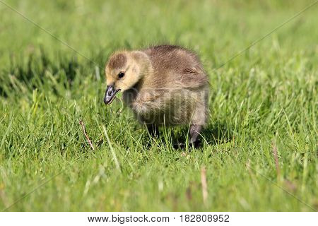 A little Canada goose gosling grazing in a meadow.