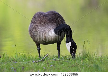 A Canadian goose grazing in a meadow