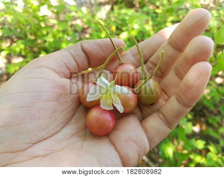 Close up picture of Jamaican cherry and its flower in human hand