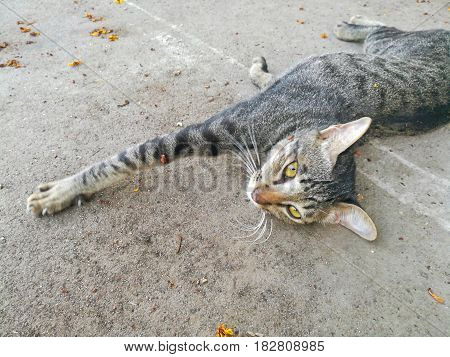 Close up picture of Lazy Tabby cat on the floor