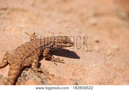 A fence lizard clings to the hot desert sandstone in Utah.