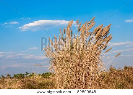 Clump of Grass Flowers with Blue Sky and Cloud