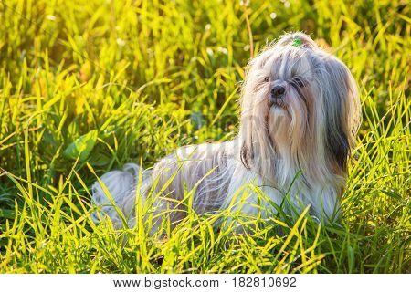 Shih tzu dog in summer grass at sunset light