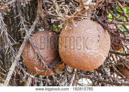 Closeup To Shala Fruit, Cannonball Tree [shorea Robusta]