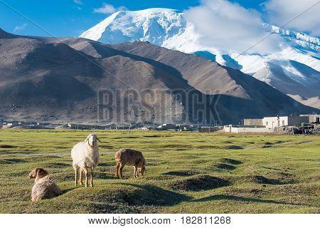 Xinjiang, China - May 21 2015: Sheep At Karakul Lake. A Famous Landscape On The Karakoram Highway In