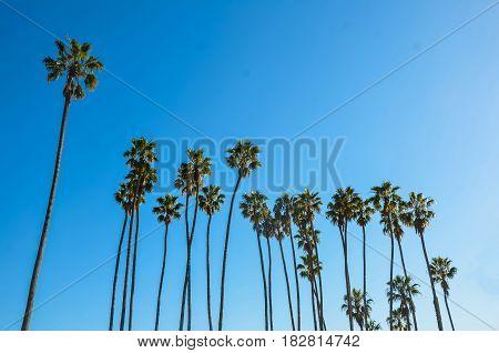 California high palm trees on the beach blue sky background Santa Barbara