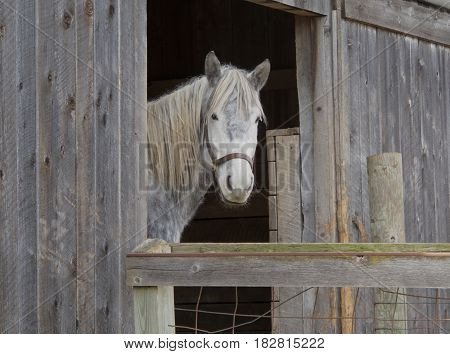 A dapple gray horse stands in the open door of its weathered wooden barn. Dapple grays are gray or white with darker ring-like markings. Southeastern Michigan.