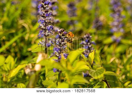 A bumble bee climbs on a purple flower gathering nectar