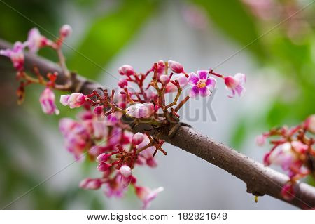 Blooming star fruit flowers on tree branch with bright background