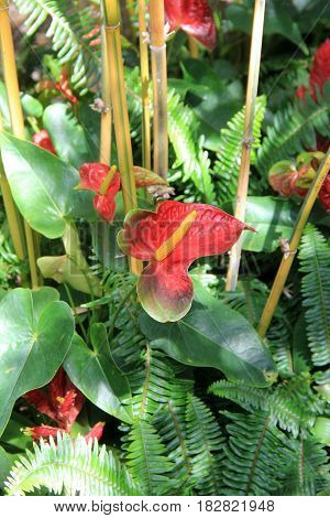 Vertical image of beautiful plant called Anthurium