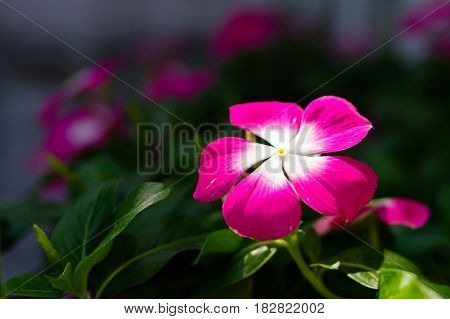 Nice pink flower in daylight with blurry background
