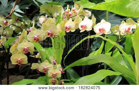 Horizontal image of beautiful yellow and pink exotic orchids in tropical garden